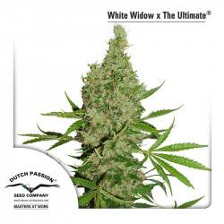 White Widow X The Ultimate - 10 graines